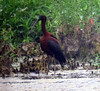 Glossy Ibis, Melanie Lane Pond, Hanover Township, NJ, June 22, 2012