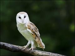 Barn Owl 14