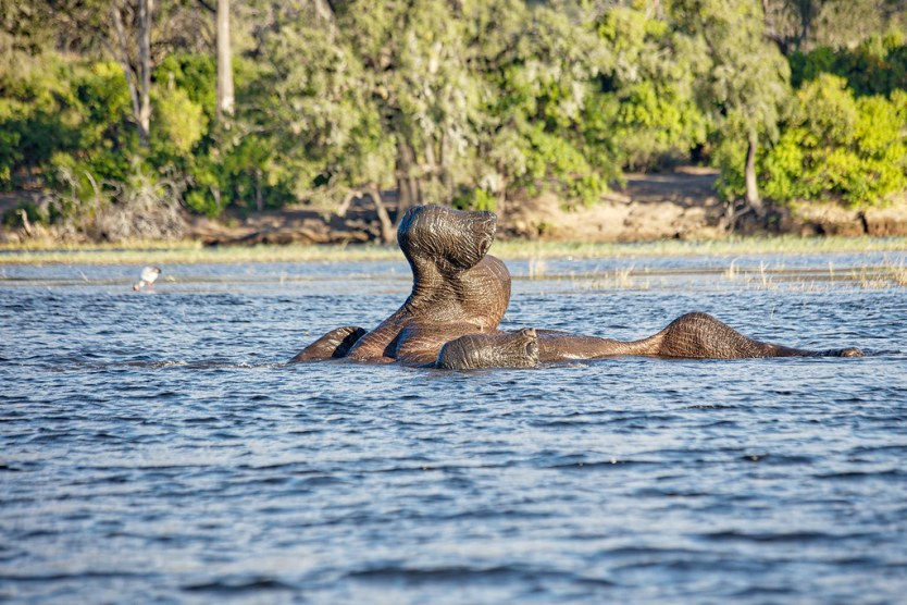 An elephant rolling in the Chobe River.