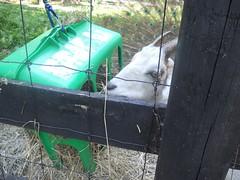 Goat snacking