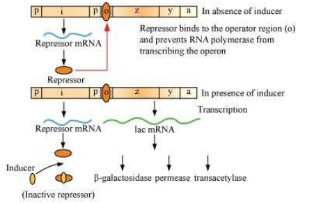 ncert solution Molecular Basis of Inheritance