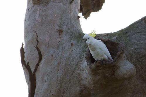 Sulphur-crested Cockatoo 2012-08-15 (_MG_2205)