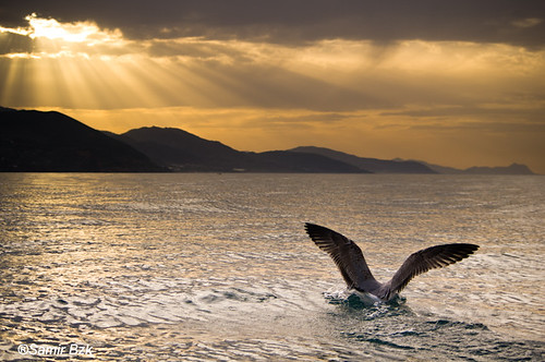 Seagull from Algerian coast by albatros11