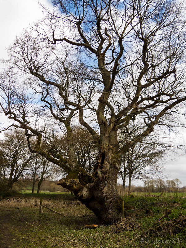 The many-faced oak is still standing