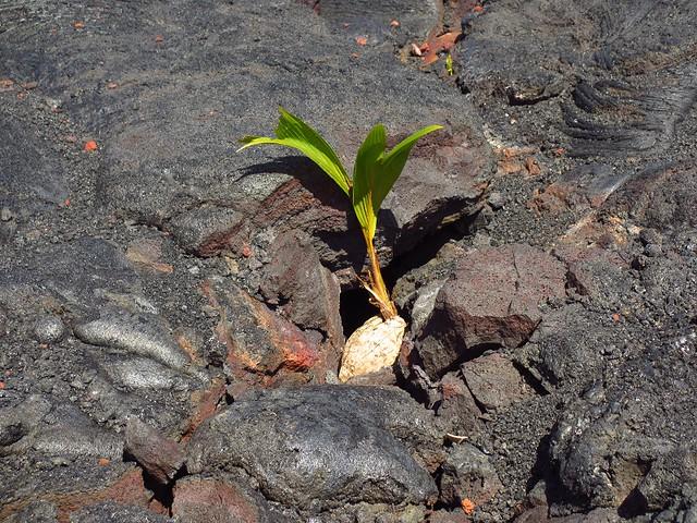coconut in lava