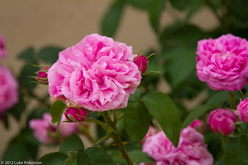 Roses of Bourdeilles