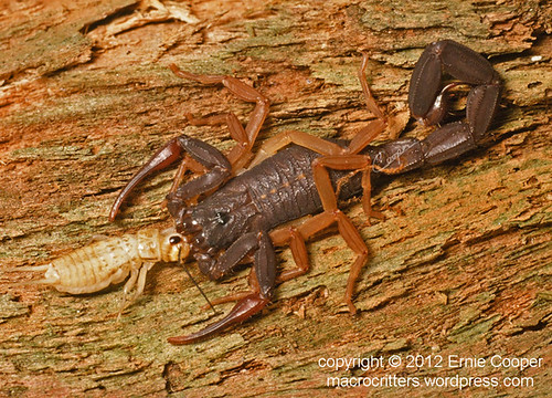 Centruroides gracilis florida bark scorpion © Ernie Cooper sm for post