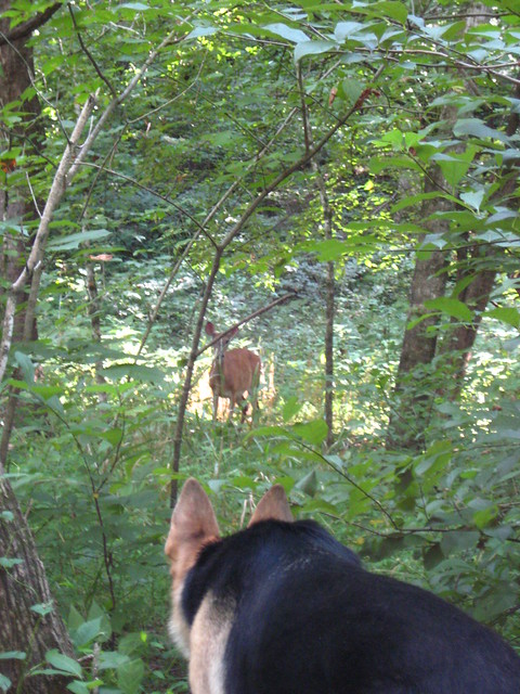 Squaring off with a deer