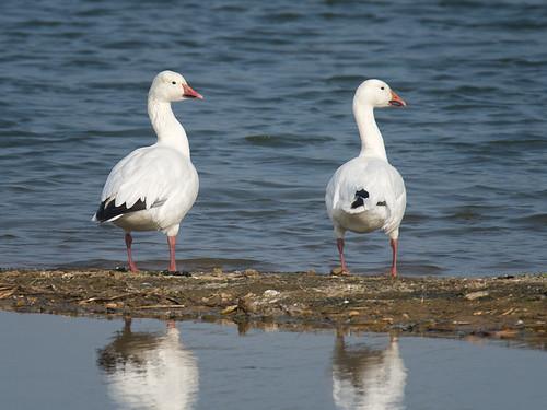 Snow Geese_1