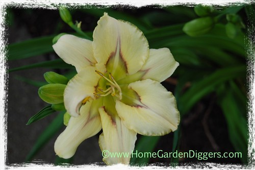 Blue Eyed Butterfly Daylily