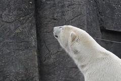 Eisbär Boris im Zoo Kopenhagen