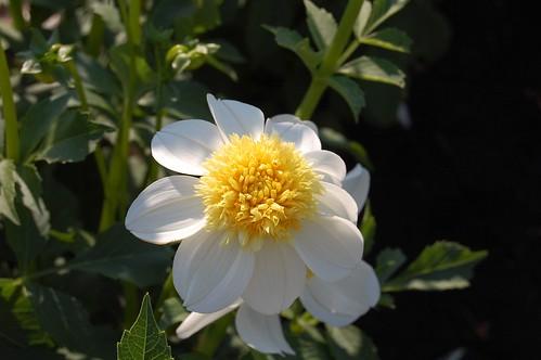White and Yellow Dahlia