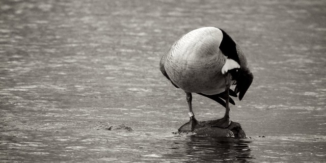 Canada Goose 2