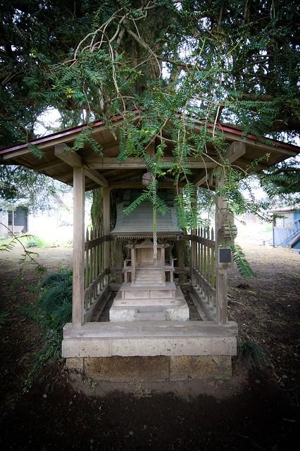 #30 The Giant Nutmeg-yew of Awano