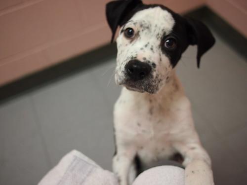 lab/hound boxer mix puppies