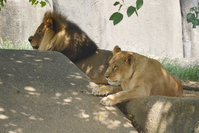 Lions in the Heat