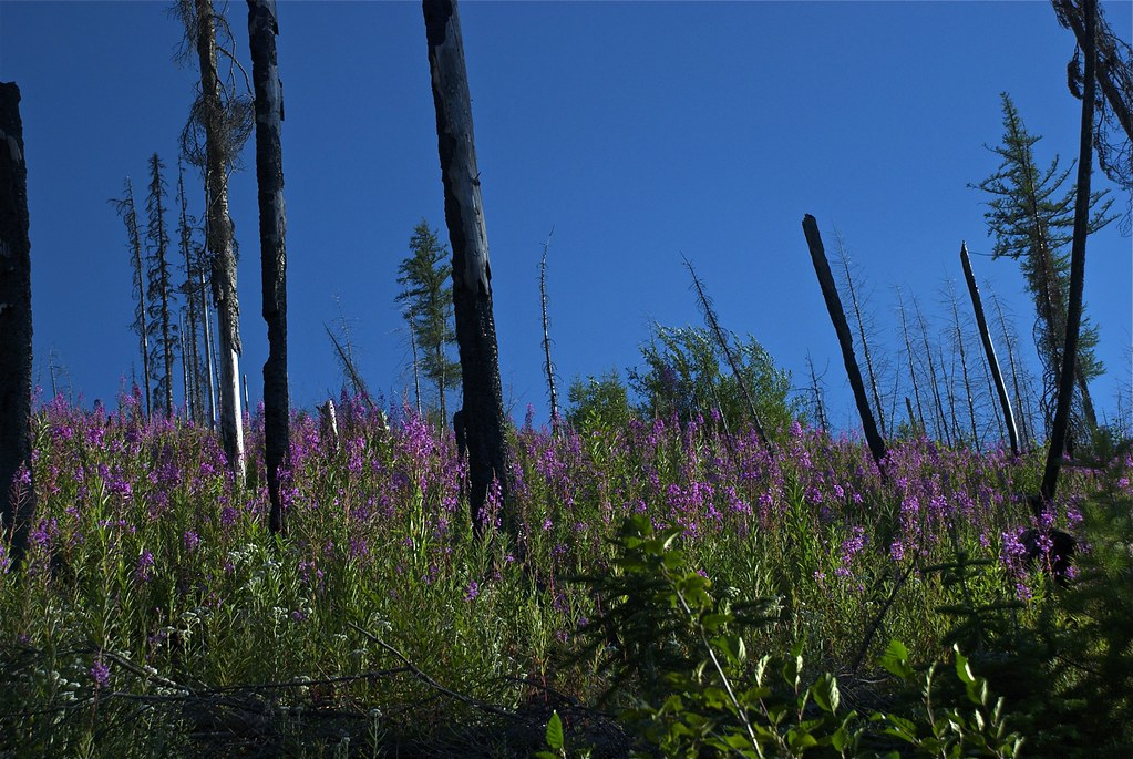 Fireweed, Chamerion angustifolium