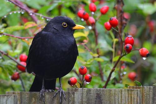 Friendly Blackbird