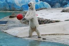 Eisbär Rocky in der Monde Sauvage Safari in Aywaille