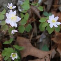 Ozarks Spring Wildflowers: Rue Anemone