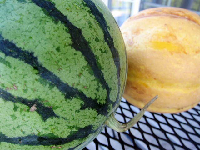 Close-up of a watermelon and a smaller yellow muskmelon.