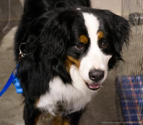 bernese mountain dog by gomagoti