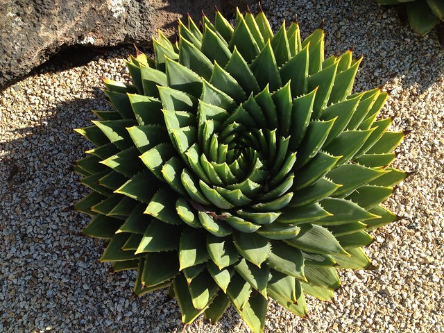 Spiral aloe (Aloe polyphylla, Xanthorrhoeaceae)