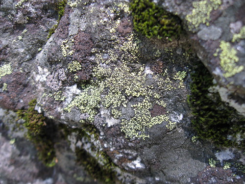 Map lichen (Rhizocarpon sp.), Yosemite National Park