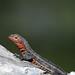 Galápagos Lava Lizard (Microlophus albemarlensis)