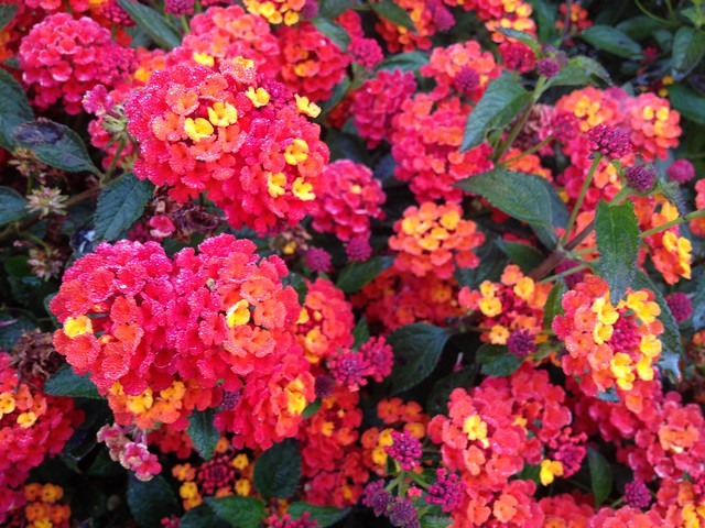 Pink and orange Lantana camara (Verbenaceae)