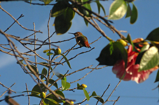 An Anna's Hummingbird in My Camellia Tree