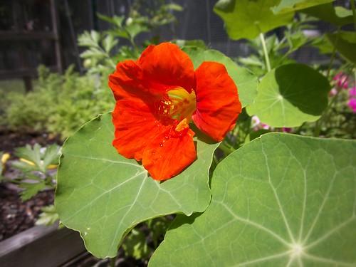 day 2 nasturtium blooms