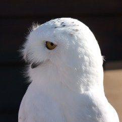 Snowy Owl Adaptations Diagram Cbc Lab Value U S Fish And Wildlife Service Open Spaces Blog