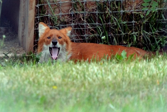 Happy Dhole