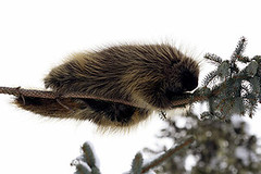 "Porcupine ""out on a limb"" 4121"