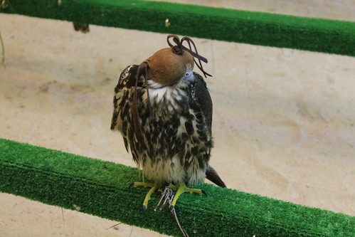 Falcons at souq waqif