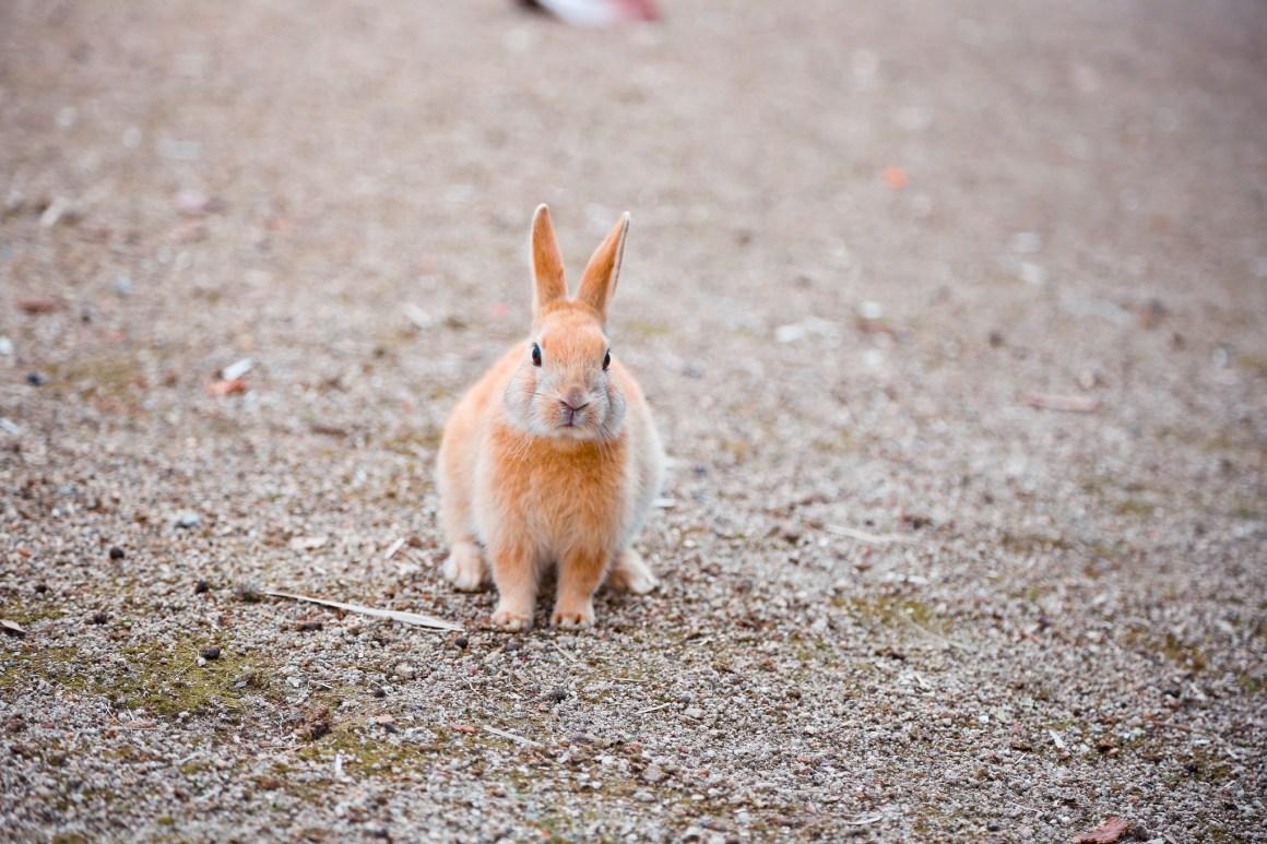 大久野島兔子島 Hiroshima 188