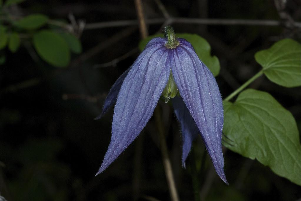 Blue Clematis, Columbia clematis