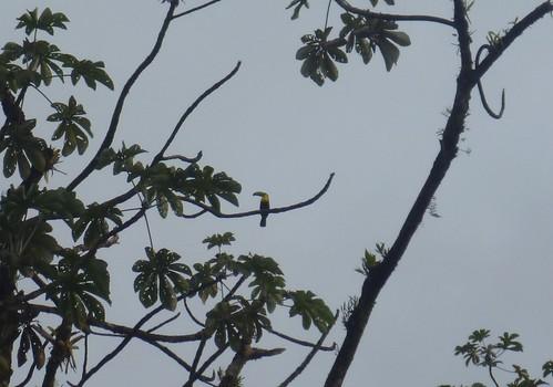 Keel-Billed Toucan by tomp77