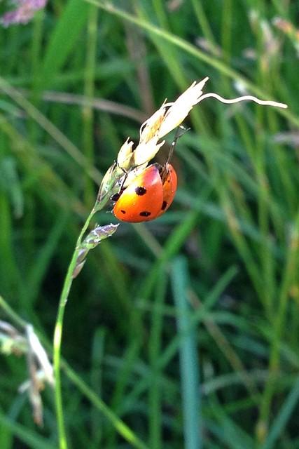 Suntanning ladybug