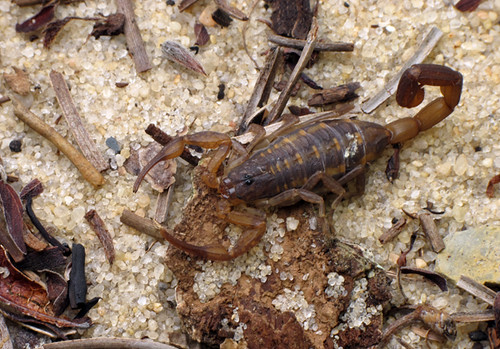 Striped Bark Scorpion, Centuroides hentzi