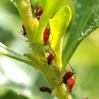 Beautiful blood-red aphids (Aphididae, Homoptera) on native Coyote Bush (Baccharis pilularis, Asteraceae)