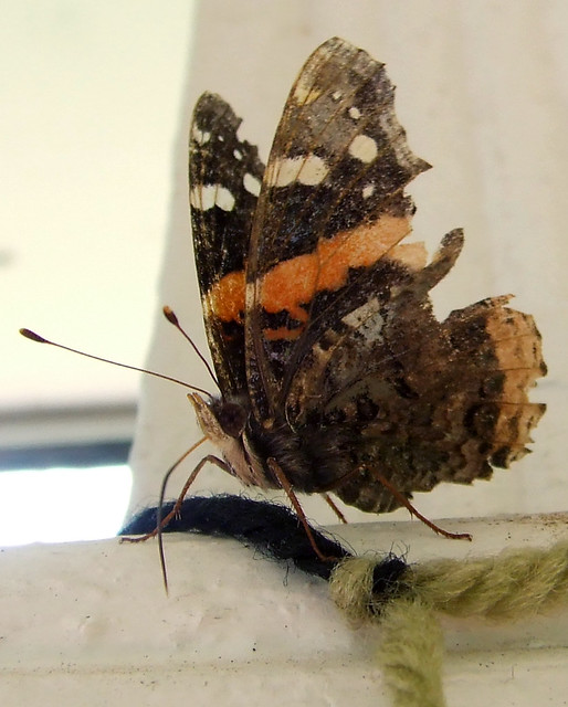 red admiral 2