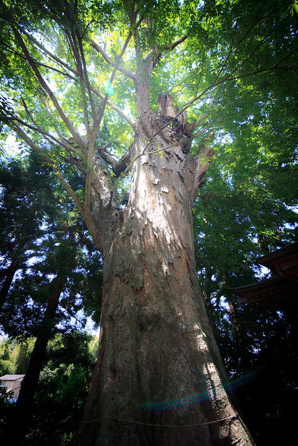 #65 The Giant Zelkova of Kitanaka Hachimanguu