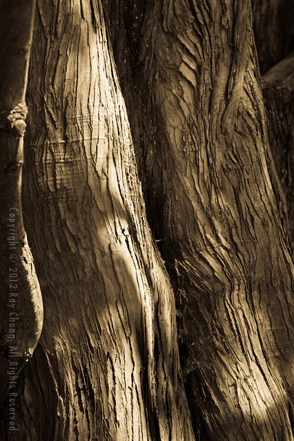 Tree Trunks I, Green Lake, 2012