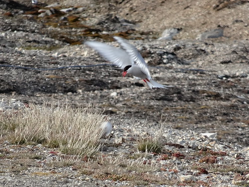 Arctic Tern Feeding Chick by tomp77