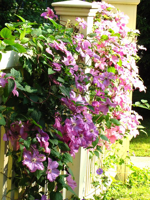 Clematis on White Fences