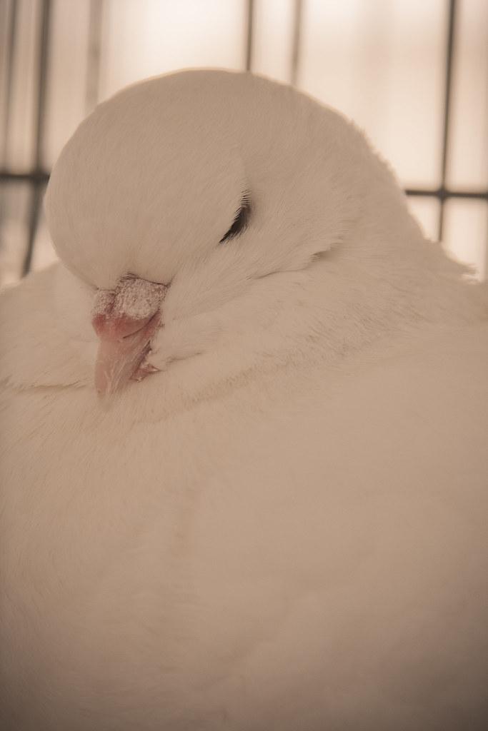 serious pigeon