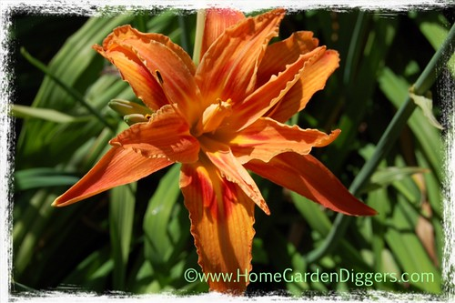 Orange Double Daylily