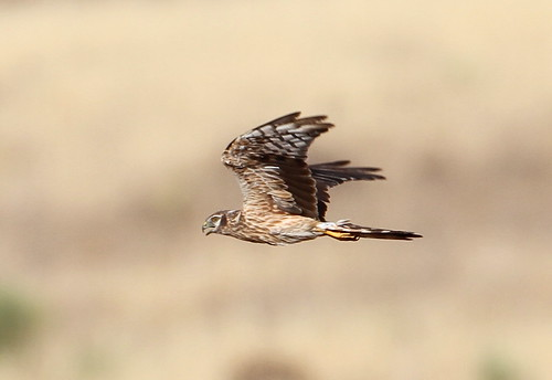 2012_07_25 VV - Montagu's Harrier - female (Circus pygargus) 05